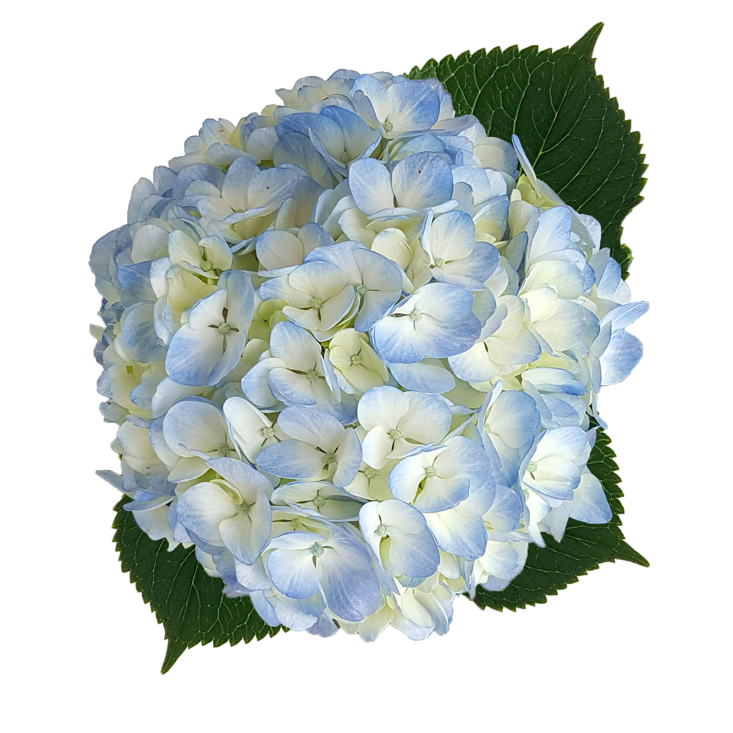 Hydrangea Blue Select