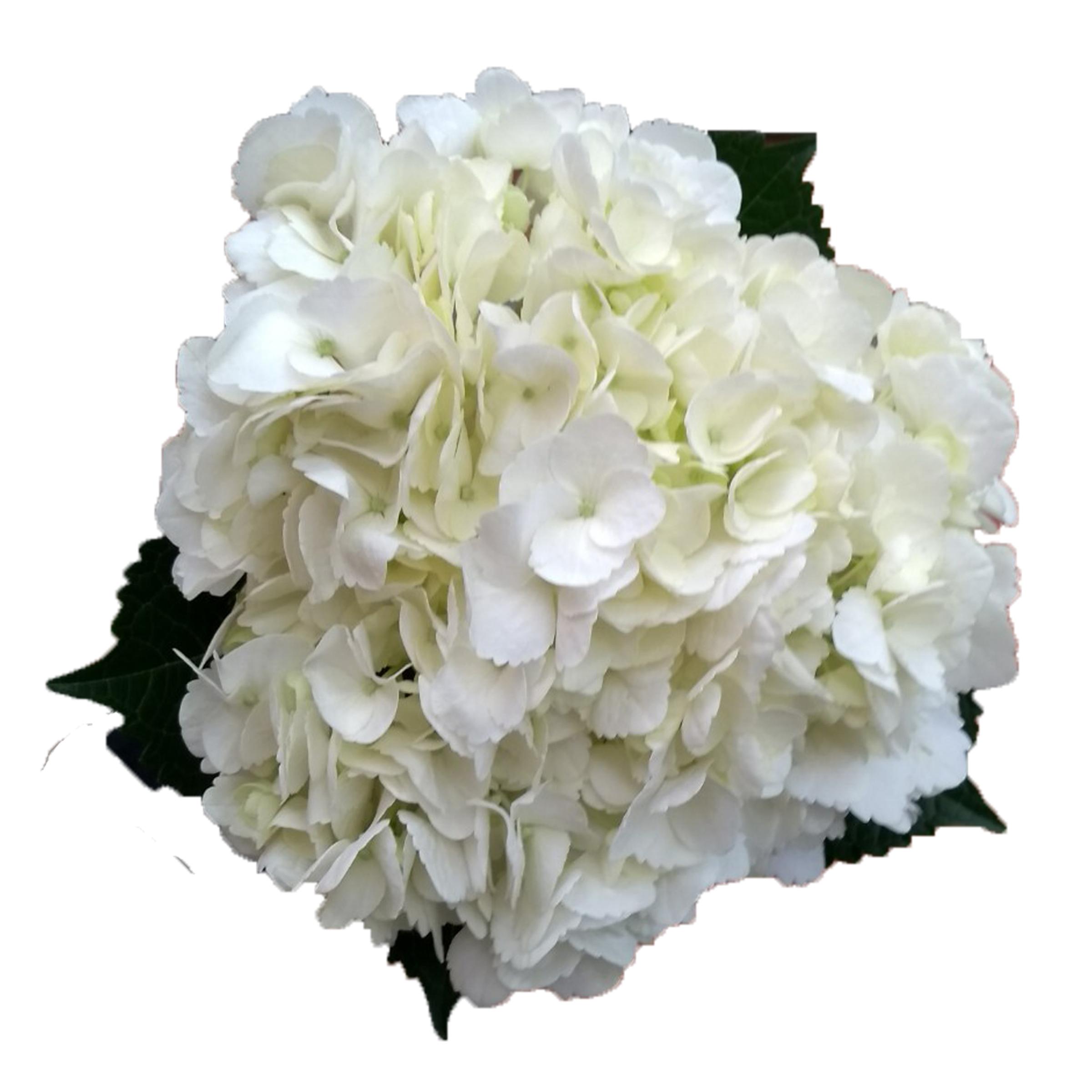 HYDRANGEA WHITE PREMIUM